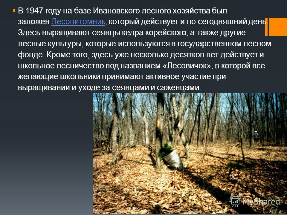 В 1947 году на базе Ивановского лесного хозяйства был заложен Лесопитомник, который действует и по сегодняшний день. Здесь выращивают сеянцы кедра корейского, а также другие лесные культуры, которые используются в государственном лесном фонде. Кроме