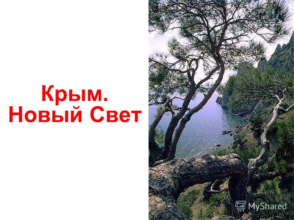 Крым. Новый Свет. Можжевельник