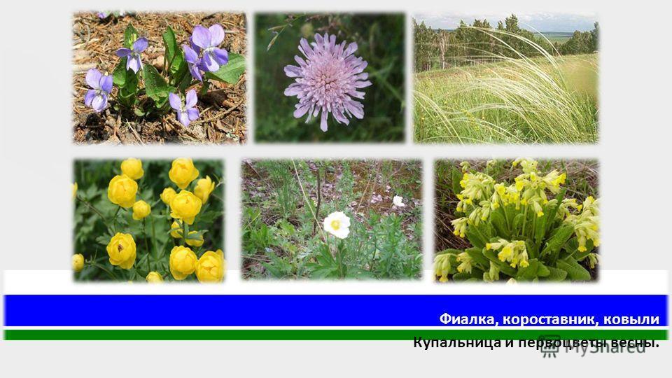 Фиалка, короставник, ковыли Купальница и первоцветы весны.