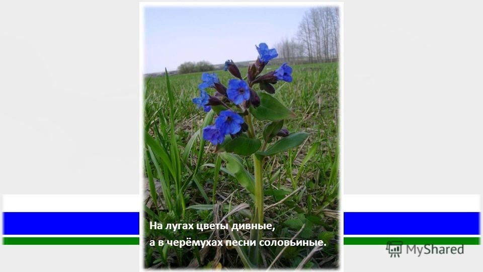 На лугах цветы дивные, а в черёмухах песни соловьиные.