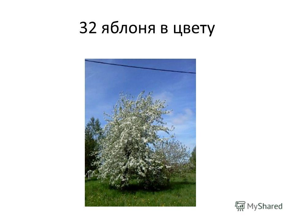 32 яблоня в цвету