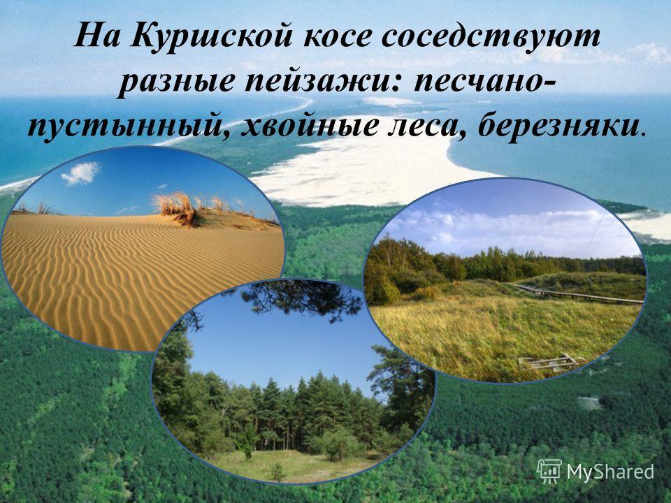 На Куршской косе соседствуют разные пейзажи: песчано- пустынный, хвойные леса, березняки.