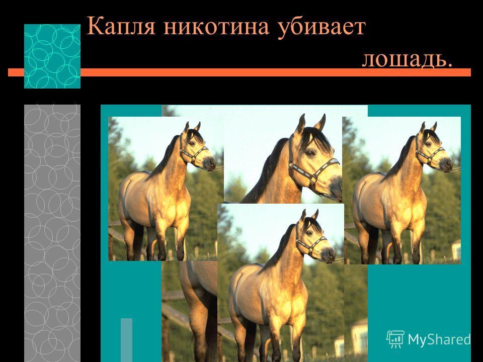 Капля никотина убивает лошадь.