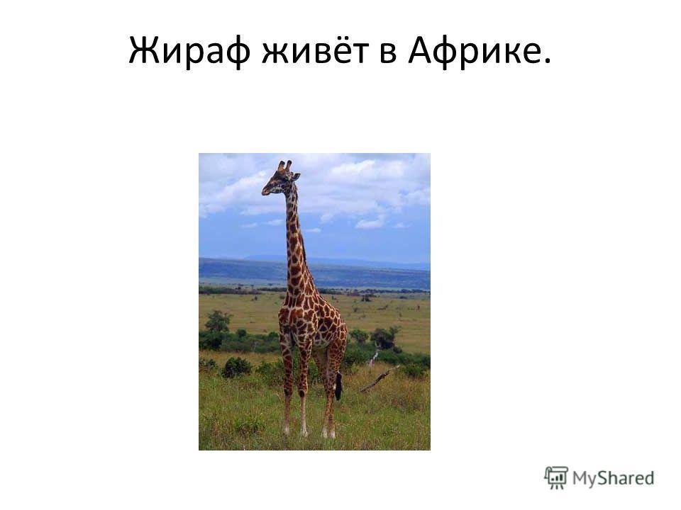 Жираф живёт в Африке.