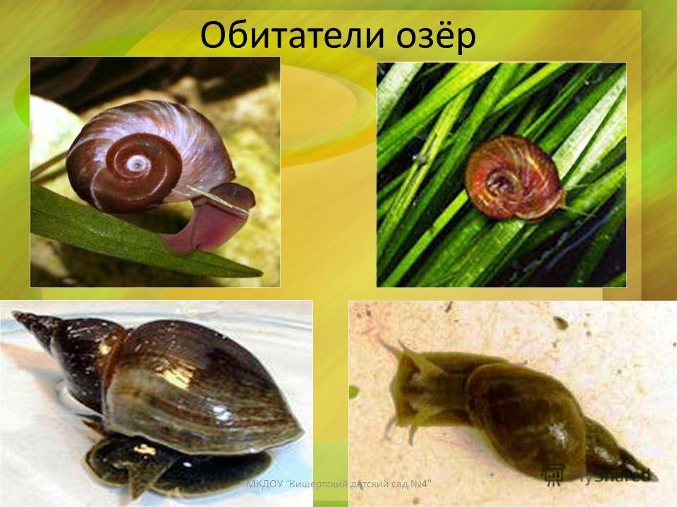 Обитатели озёр МКДОУ Кишертский детский сад 4
