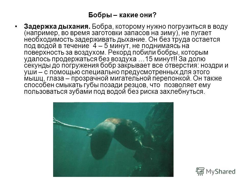 Бобры – какие они? Задержка дыхания. Бобра, которому нужно погрузиться в воду (например, во время заготовки запасов на зиму), не пугает необходимость задерживать дыхание. Он без труда остается под водой в течение 4 – 5 минут, не поднимаясь на поверхн