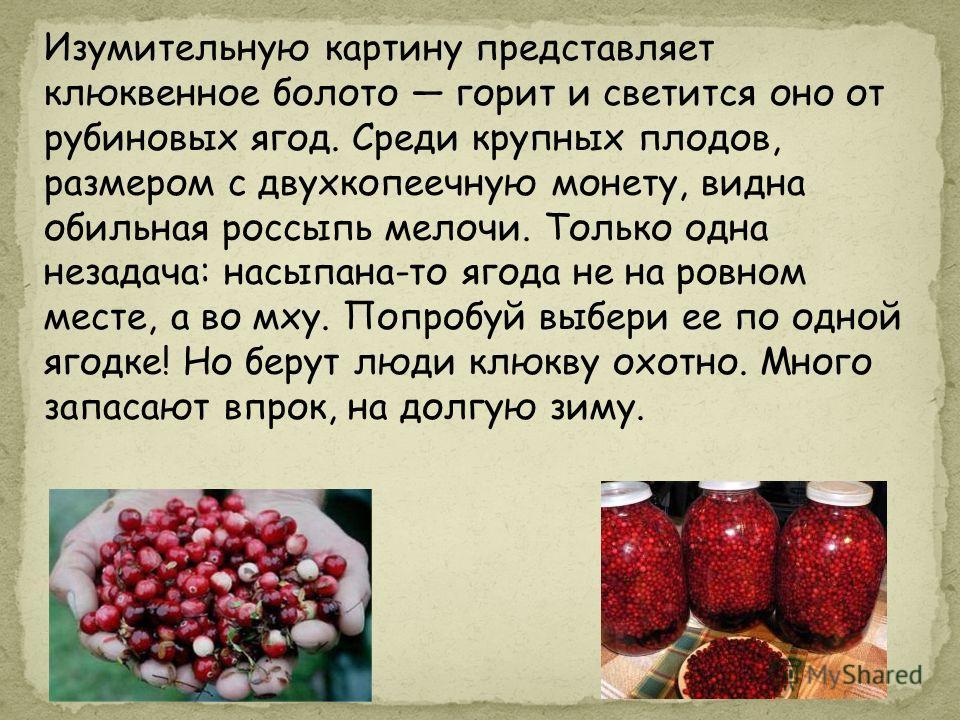 Изумительную картину представляет клюквенное болото горит и светится оно от рубиновых ягод. Среди крупных плодов, размером с двухкопеечную монету, видна обильная россыпь мелочи. Только одна незадача: насыпана-то ягода не на ровном месте, а во мху. По