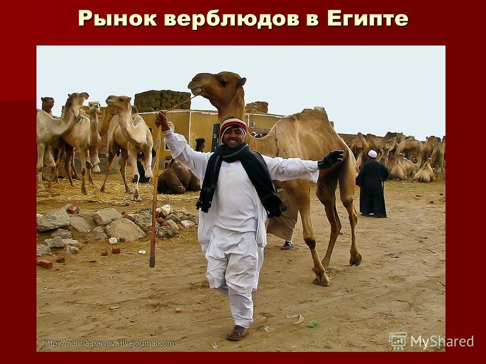 Рынок верблюдов в Египте