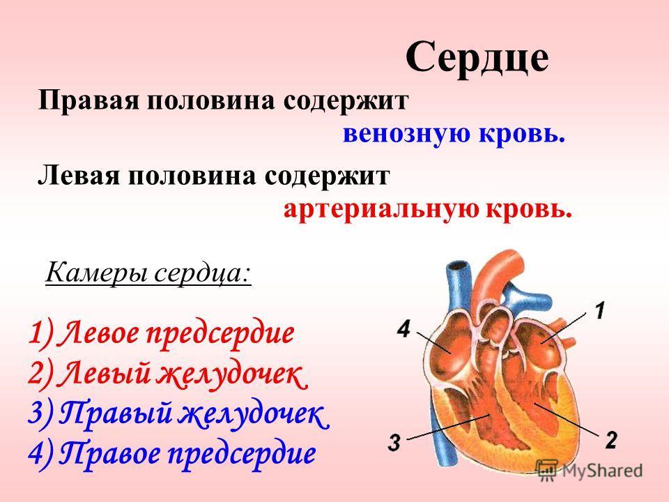 Правая половина содержит венозную кровь. Левая половина содержит артериальную кровь. Камеры сердца: 1) Левое предсердие 2) Левый желудочек 3) Правый желудочек 4) Правое предсердие Сердце