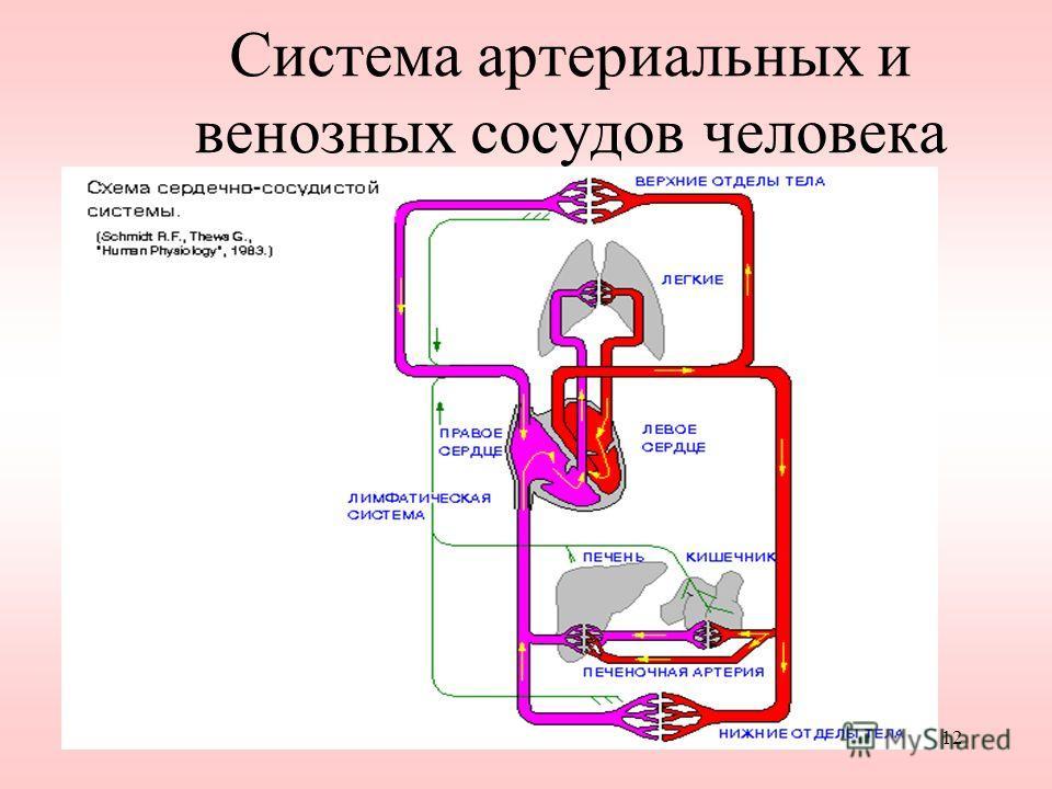 12 Система артериальных и венозных сосудов человека