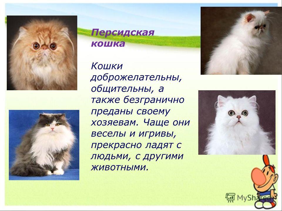 Персидская кошка. Кошки доброжелательны, общительны, а также безгранично преданы своему хозяевам. Чаще они веселы и игривы, прекрасно ладят с людьми, с другими животными.