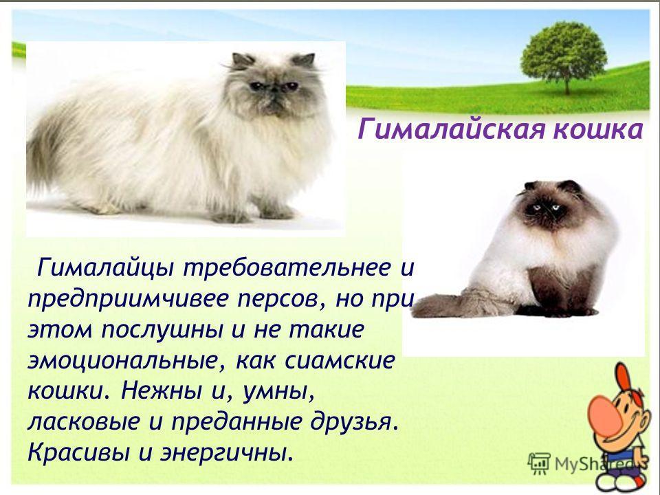 Гималайцы требовательнее и предприимчивее персов, но при этом послушны и не такие эмоциональные, как сиамские кошки. Нежны и, умны, ласковые и преданные друзья. Красивы и энергичны. Гималайская кошка