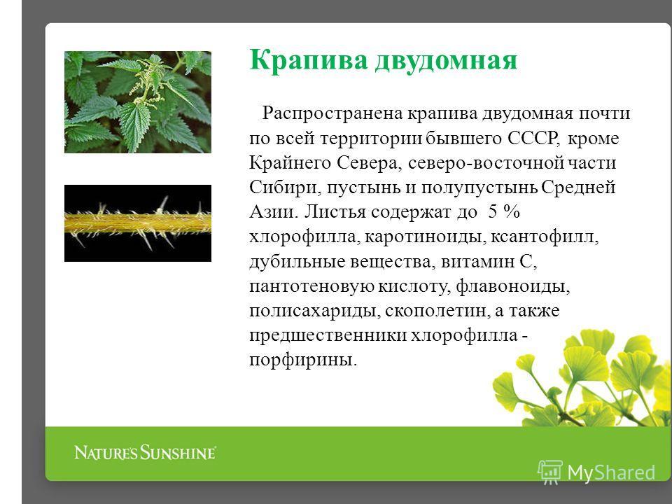 Крапива двудомная Распространена крапива двудомная почти по всей территории бывшего СССР, кроме Крайнего Севера, северо-восточной части Сибири, пустынь и полупустынь Средней Азии. Листья содержат до 5 % хлорофилла, каротиноиды, ксантофилл, дубильные