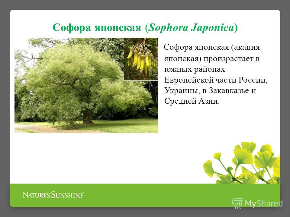 Софора японская (Sophora Japonica) Софора японская (акация японская) произрастает в южных районах Европейской части России, Украины, в Закавказье и Средней Азии.