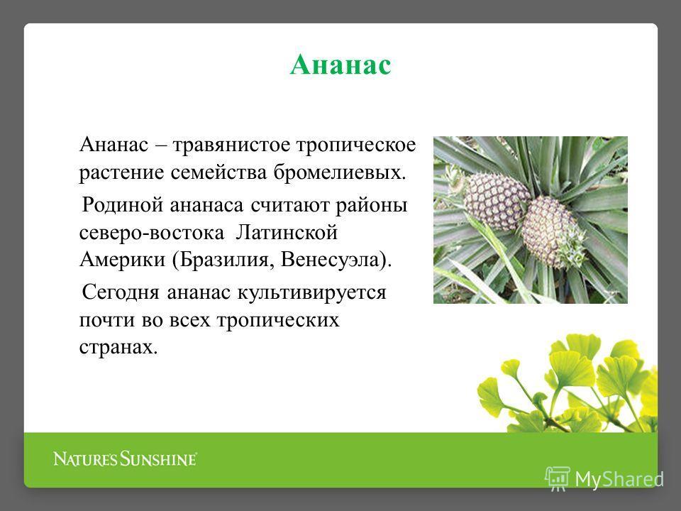 Ананас Ананас – травянистое тропическое растение семейства бромелиевых. Родиной ананаса считают районы северо-востока Латинской Америки (Бразилия, Венесуэла). Сегодня ананас культивируется почти во всех тропических странах.