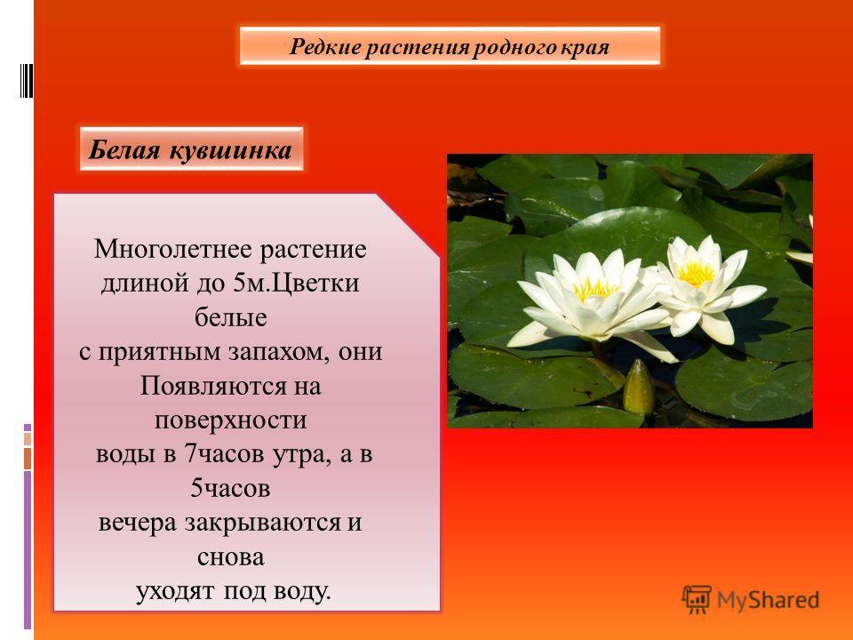 Редкие растения родного края Белая кувшинка Многолетнее растение длиной до 5 м.Цветки белые с приятным запахом, они Появляются на поверхности воды в 7 часов утра, а в 5 часов вечера закрываются и снова уходят под воду.
