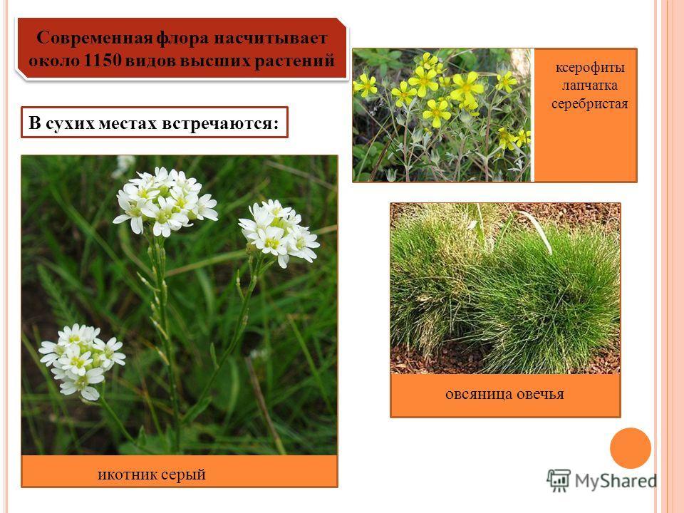 Современная флора насчитывает около 1150 видов высших растений В сухих местах встречаются: ксерофиты лапчатка серебристая икотник серый овсяница овечья