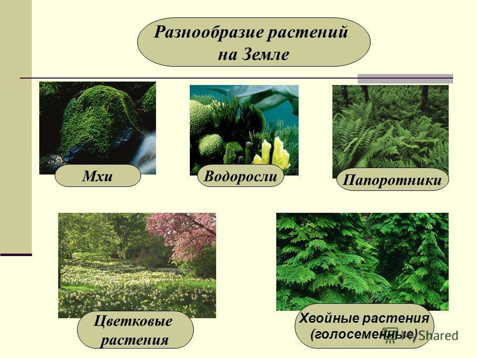 Разнообразие растений на Земле Мхи Водоросли Папоротники Цветковые растения Хвойные растения (голосеменные)