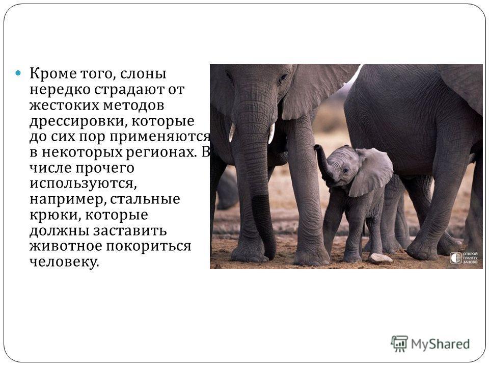 Кроме того, слоны нередко страдают от жестоких методов дрессировки, которые до сих пор применяются в некоторых регионах. В числе прочего используются, например, стальные крюки, которые должны заставить животное покориться человеку.