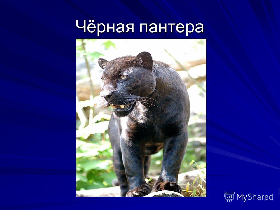 Чёрная пантера