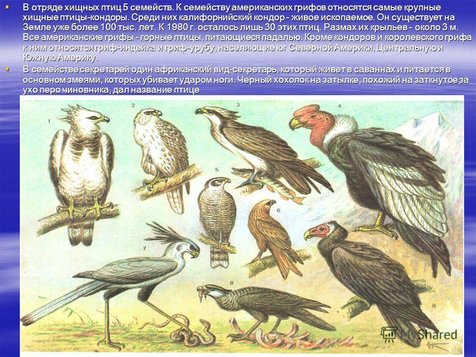 В отряде хищных птиц 5 семейств. К семейству американских грифов относятся самые крупные хищные птицы-кондоры. Среди них калифорнийский кондор - живое ископаемое. Он существует на Земле уже более 100 тыс. лет. К 1980 г. осталось лишь 30 этих птиц. Ра