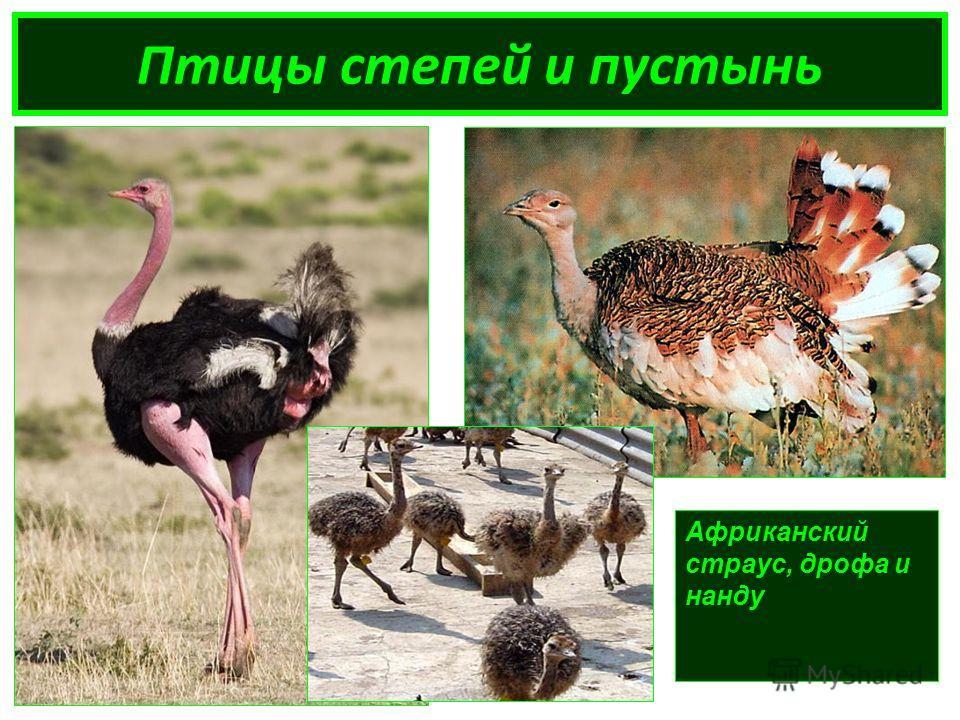 Птицы степей и пустынь Африканский страус, дрофа и нанду