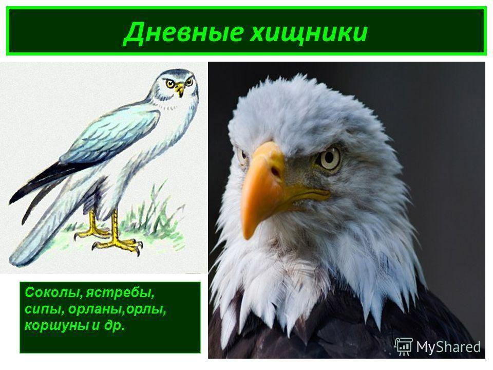 Дневные хищники Соколы, ястребы, сипы, орланы,орлы, коршуны и др.