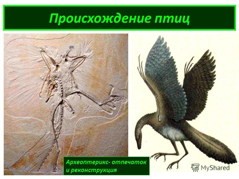 Происхождение птиц Археоптерикс- отпечаток и реконструкция