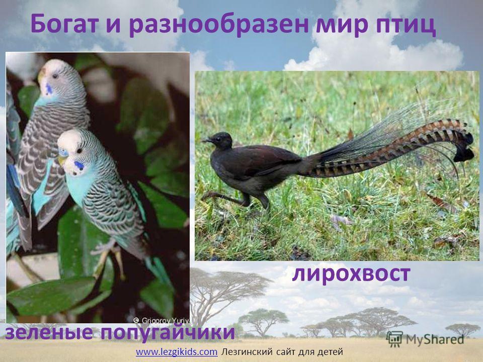 Богат и разнообразен мир птиц лирохвост зеленые попугайчики www.lezgikids.comwww.lezgikids.com Лезгинский сайт для детей