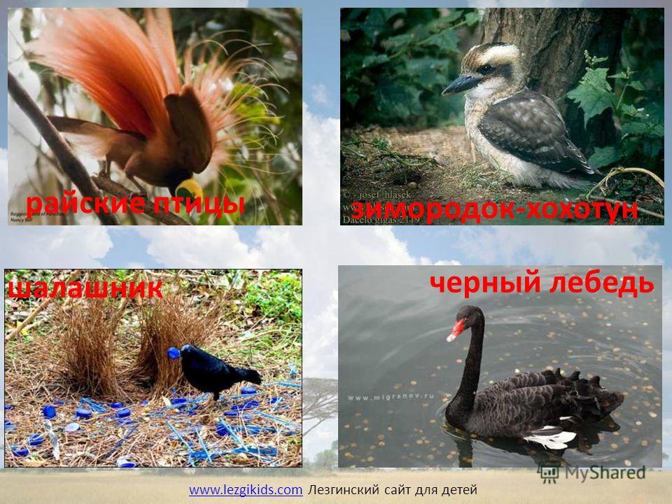 райские птицы шалашник зимородок-хохотун черный лебедь www.lezgikids.comwww.lezgikids.com Лезгинский сайт для детей