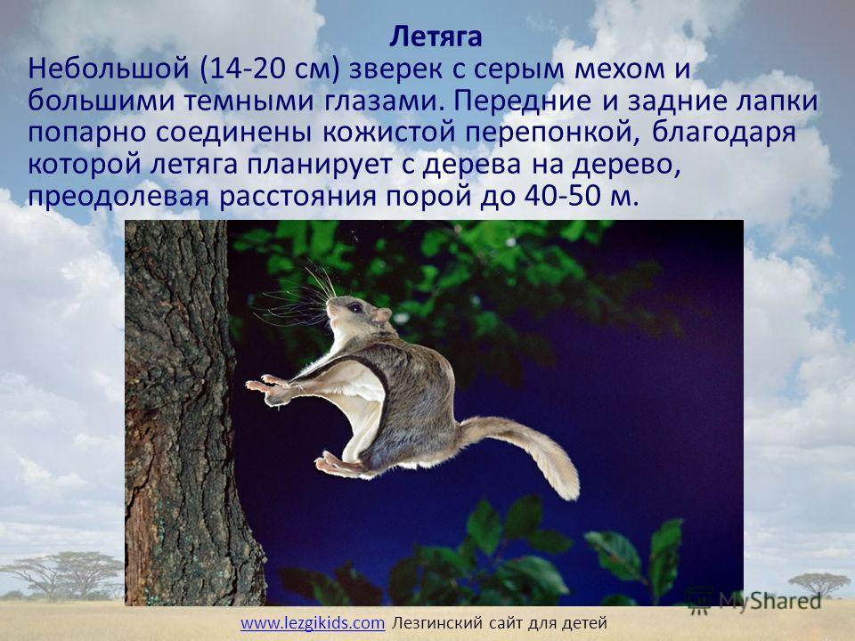 Летяга Небольшой (14-20 см) зверек с серым мехом и большими темными глазами. Передние и задние лапки попарно соединены кожистой перепонкой, благодаря которой летяга планирует с дерева на дерево, преодолевая расстояния порой до 40-50 м. www.lezgikids.