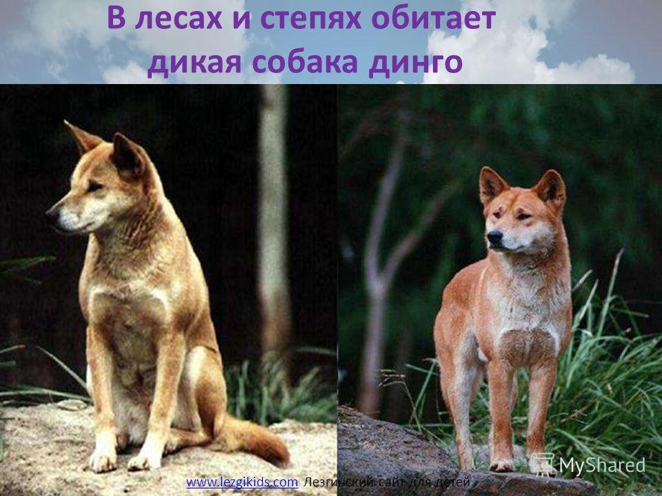 В лесах и степях обитает дикая собака динго www.lezgikids.comwww.lezgikids.com Лезгинский сайт для детей