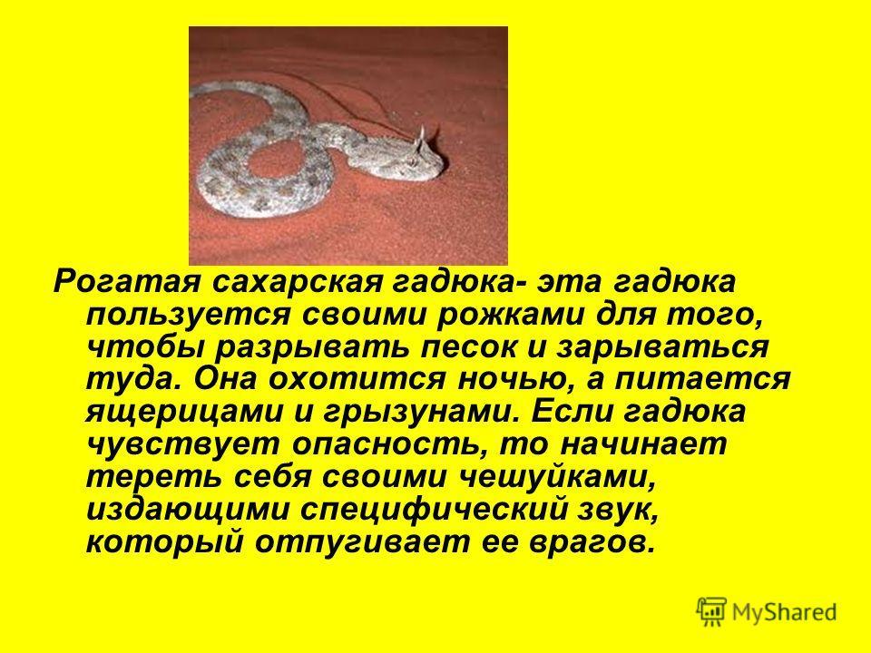 Рогатая сахарская гадюка- эта гадюка пользуется своими рожками для того, чтобы разрывать песок и зарываться туда. Она охотится ночью, а питается ящерицами и грызунами. Если гадюка чувствует опасность, то начинает тереть себя своими чешуйками, издающи