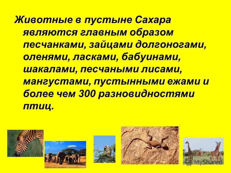 Животные в пустыне Сахара являются главным образом песчанками, зайцами долгоногами, оленями, ласками, бабуинами, шакалами, песчаными лисами, мангустами, пустынными ежами и более чем 300 разновидностями птиц.