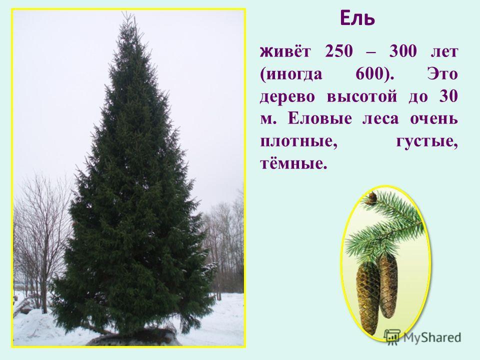 Ель живёт 250 – 300 лет (иногда 600). Это дерево высотой до 30 м. Еловые леса очень плотные, густые, тёмные.