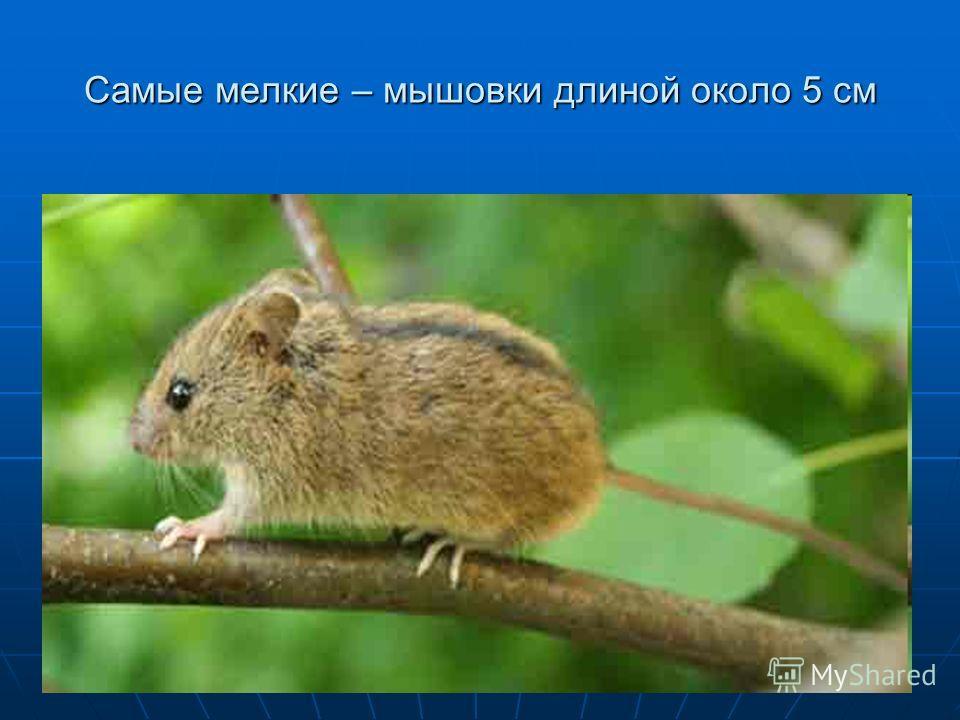 Самые мелкие – мышовки длиной около 5 см