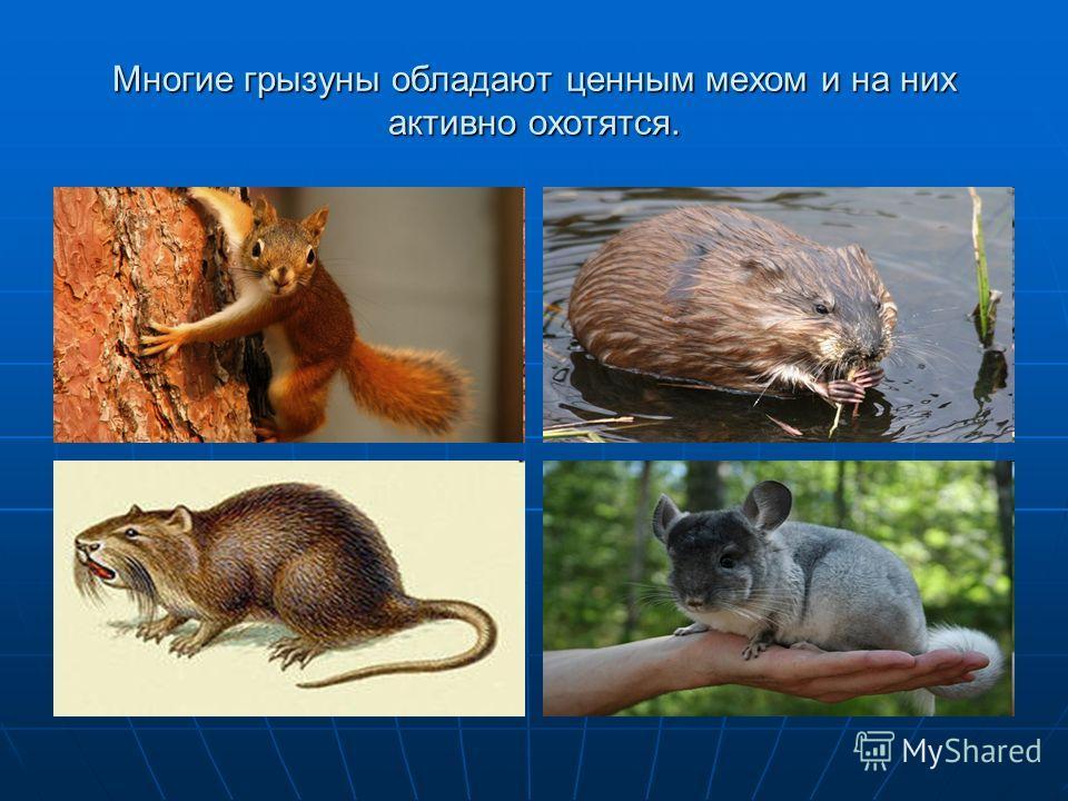 Многие грызуны обладают ценным мехом и на них активно охотятся.