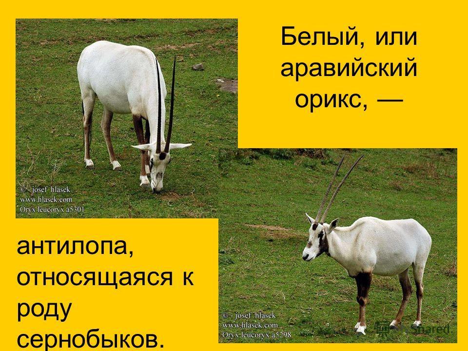 Белый, или аравийский орикс, антилопа, относящаяся к роду сернобыков.