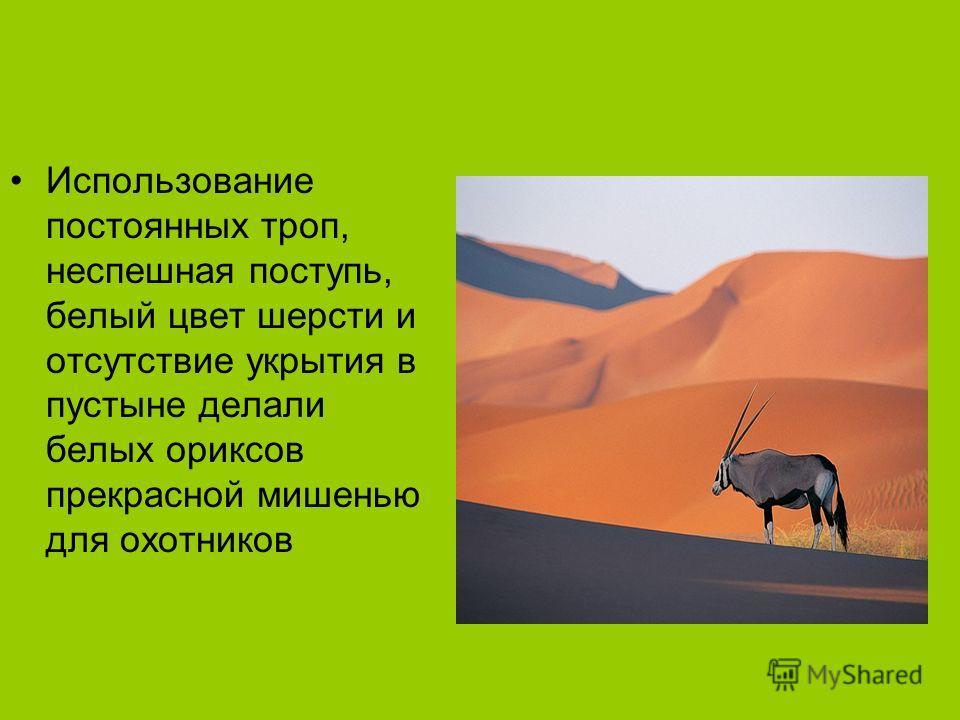 Использование постоянных троп, неспешная поступь, белый цвет шерсти и отсутствие укрытия в пустыне делали белых ориксов прекрасной мишенью для охотников