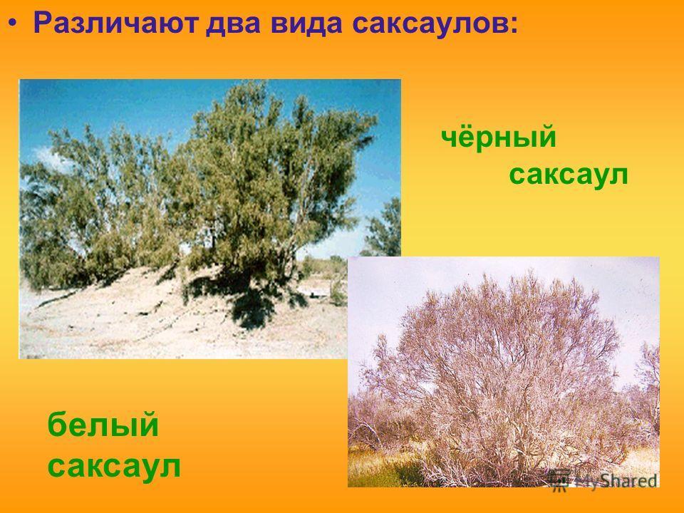 Различают два вида саксаулов: белый саксаул чёрный саксаул