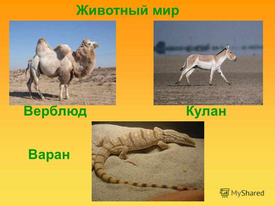 Верблюд Кулан Варан Животный мир