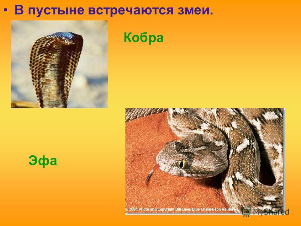 В пустыне встречаются змеи. Кобра Эфа