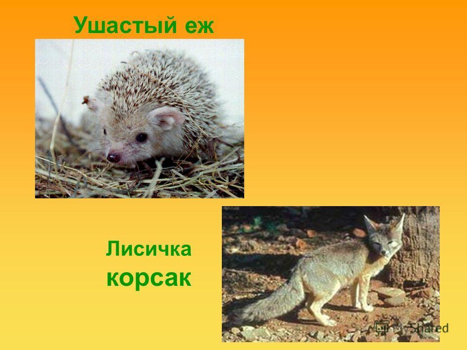 Ушастый еж Лисичка корсак