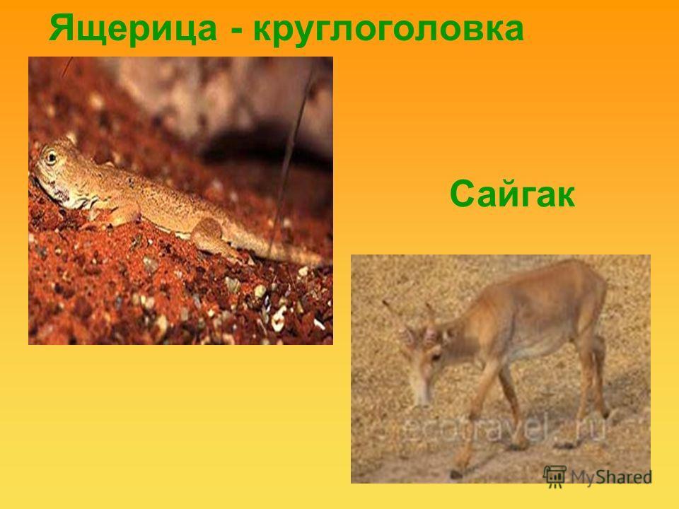 Ящерица - круглоголовка Сайгак