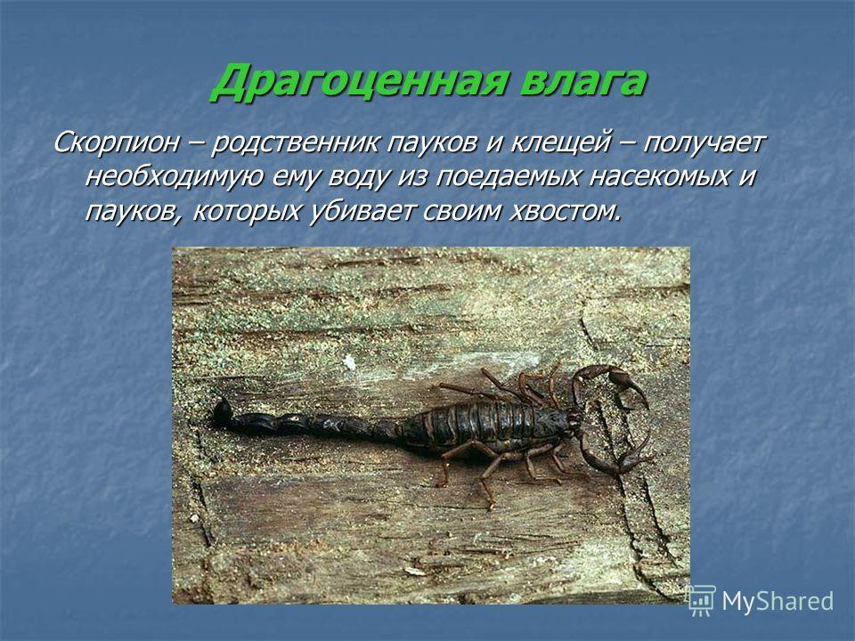 Драгоценная влага Скорпион – родственник пауков и клещей – получает необходимую ему воду из поедаемых насекомых и пауков, которых убивает своим хвостом.