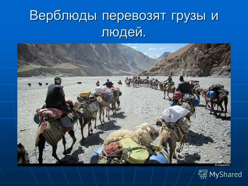 Верблюды перевозят грузы и людей.