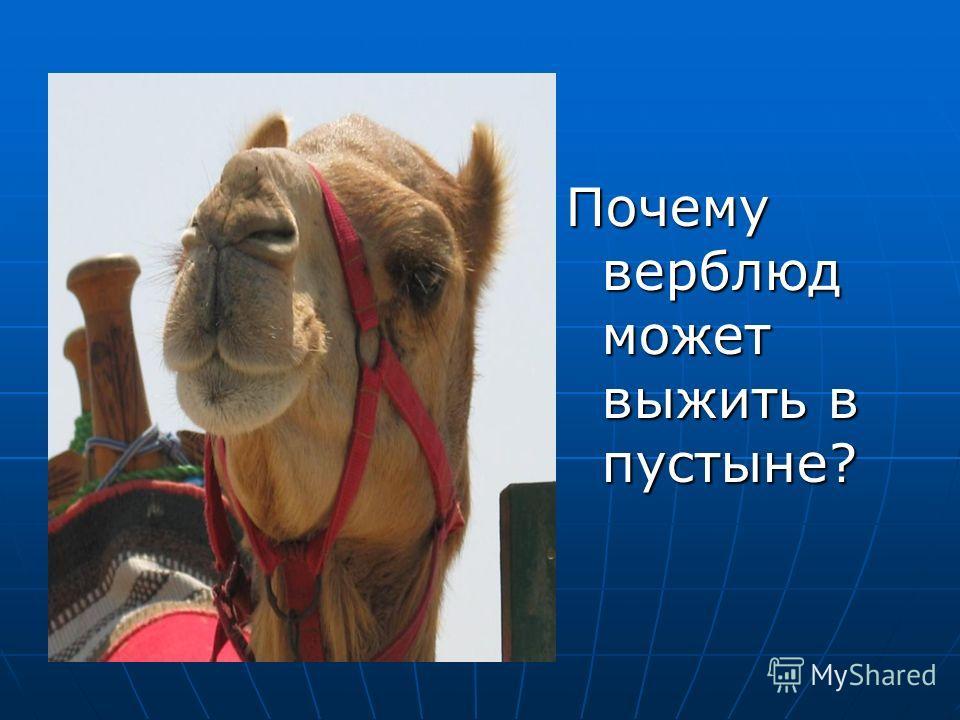 Почему верблюд может выжить в пустыне?