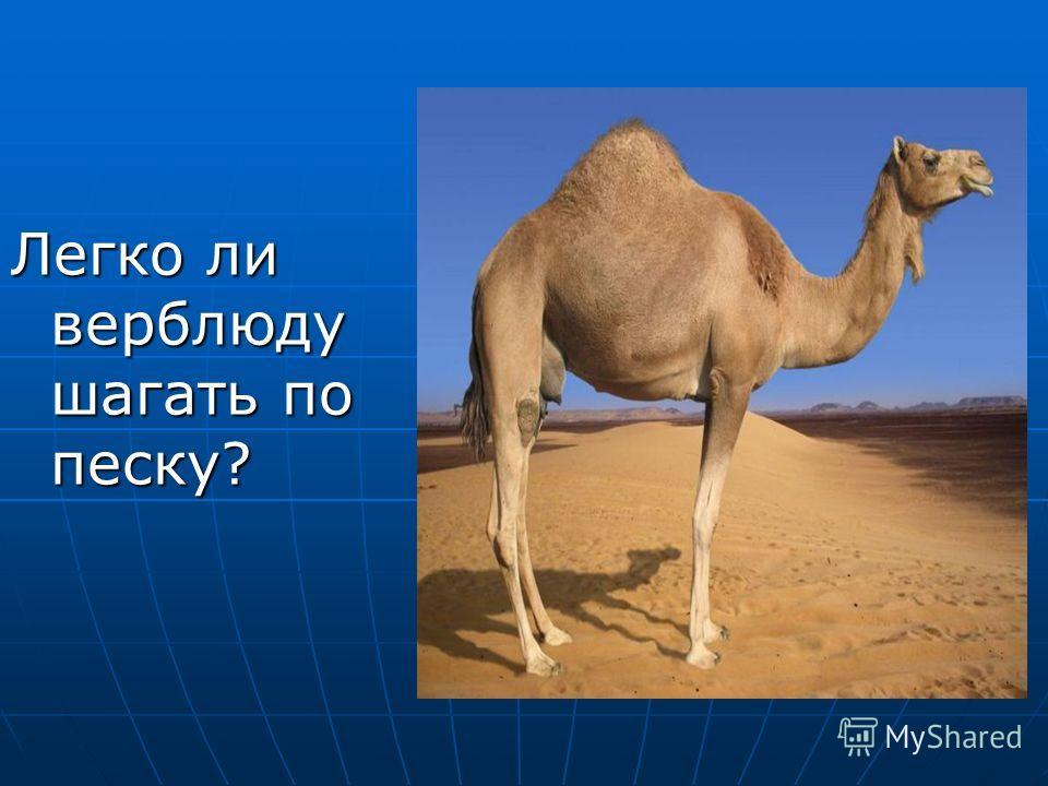 Легко ли верблюду шагать по песку?