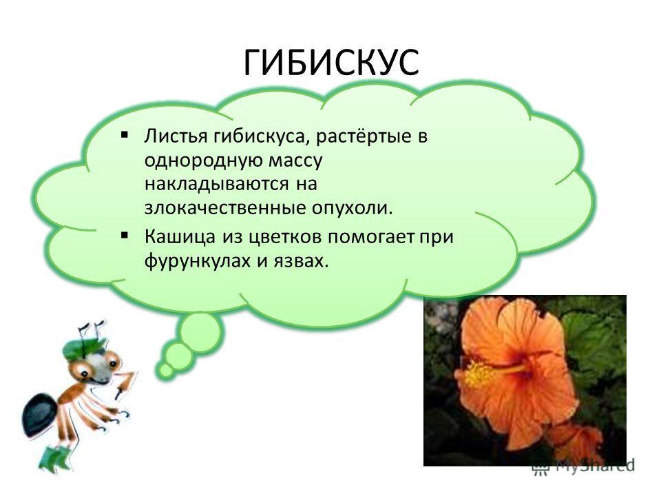 ГИБИСКУС Листья гибискуса, растёртые в однородную массу накладываются на злокачественные опухоли. Кашица из цветков помогает при фурункулах и язвах. Листья гибискуса, растёртые в однородную массу накладываются на злокачественные опухоли. Кашица из цв