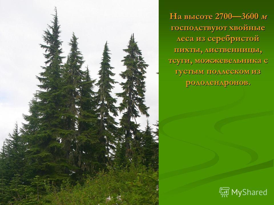 На высоте 27003600 м господствуют хвойные леса из серебристой пихты, лиственницы, тсуги, можжевельника с густым подлеском из рододендронов.